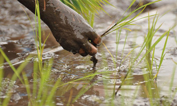 古代米農家