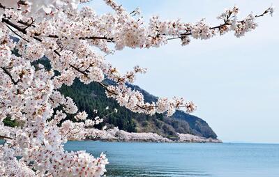 spring2021sakuraimage.jpg