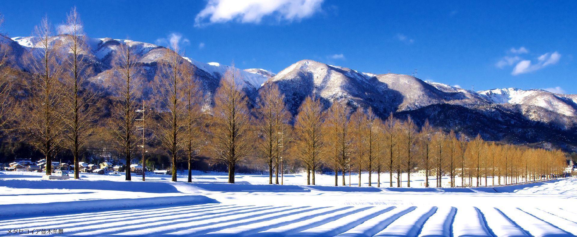 メタセコイア並木冬景
