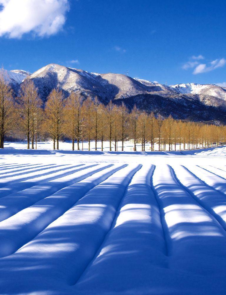 スマホ用キービジュアル メタセコイア並木冬景