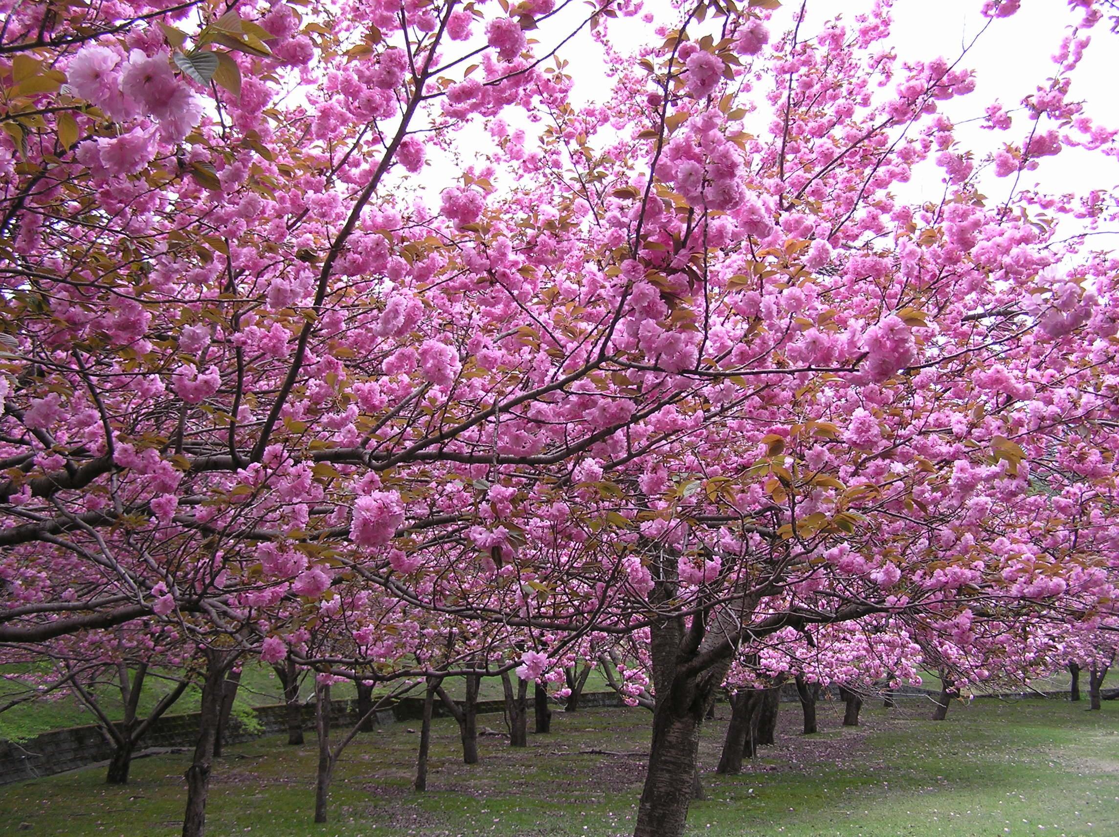 マキノ高原千本桜