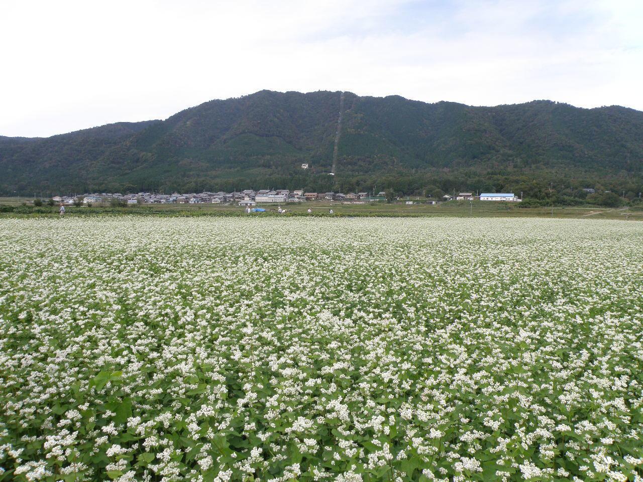 箱館山麓のそば畑
