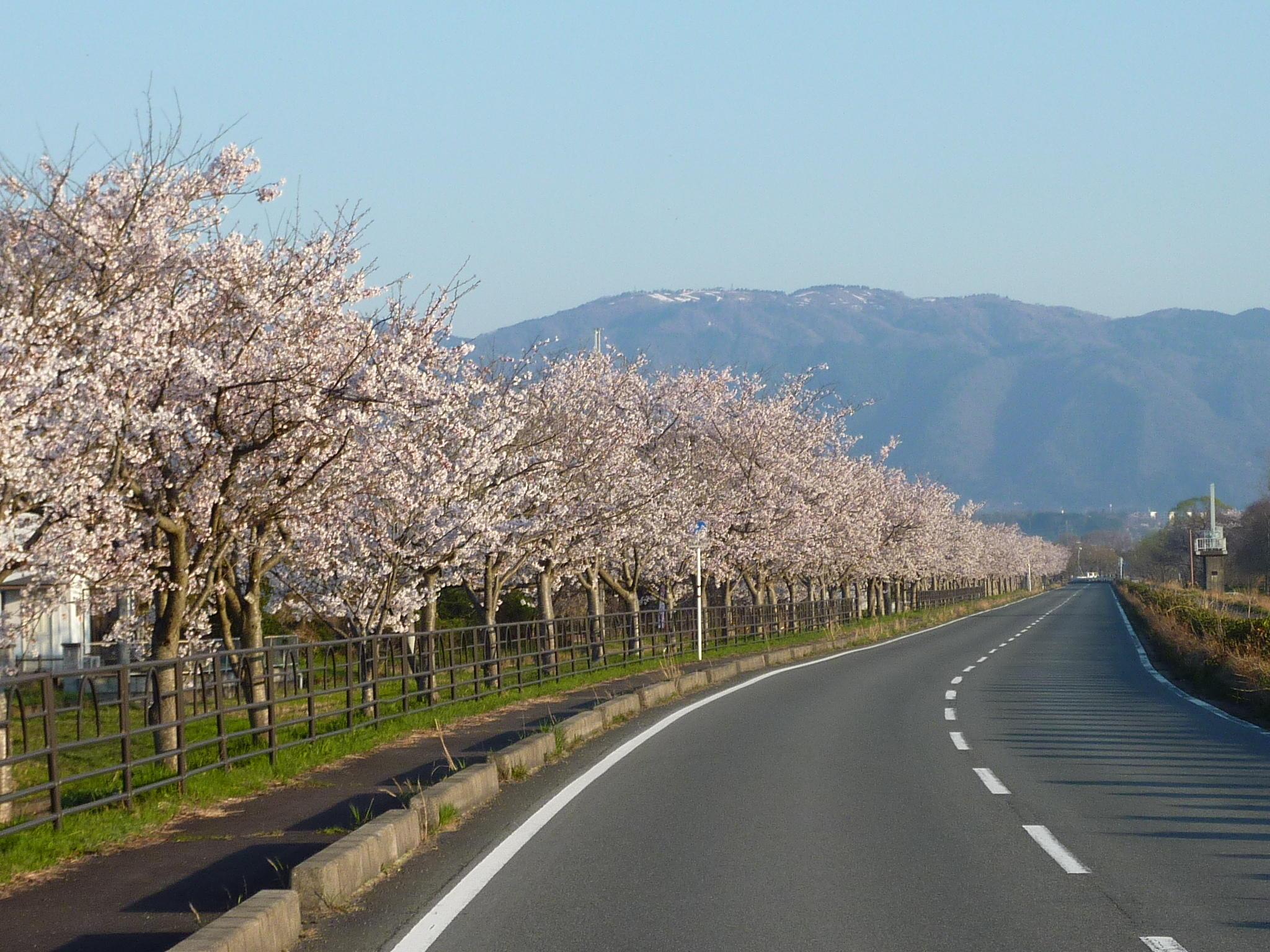 風車街道の桜