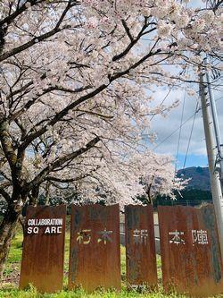 朽木の桜.jpg