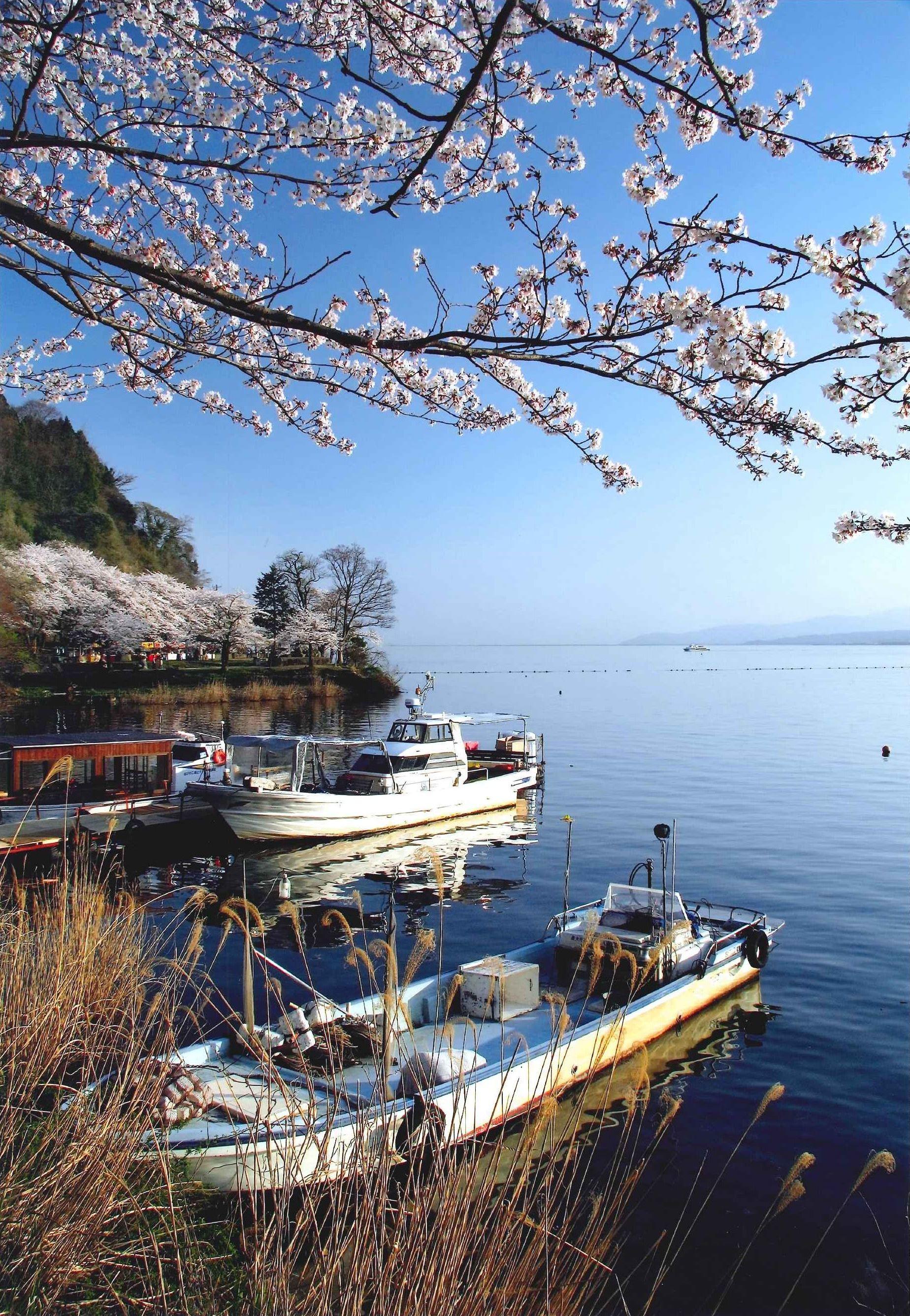 のどかな桜日