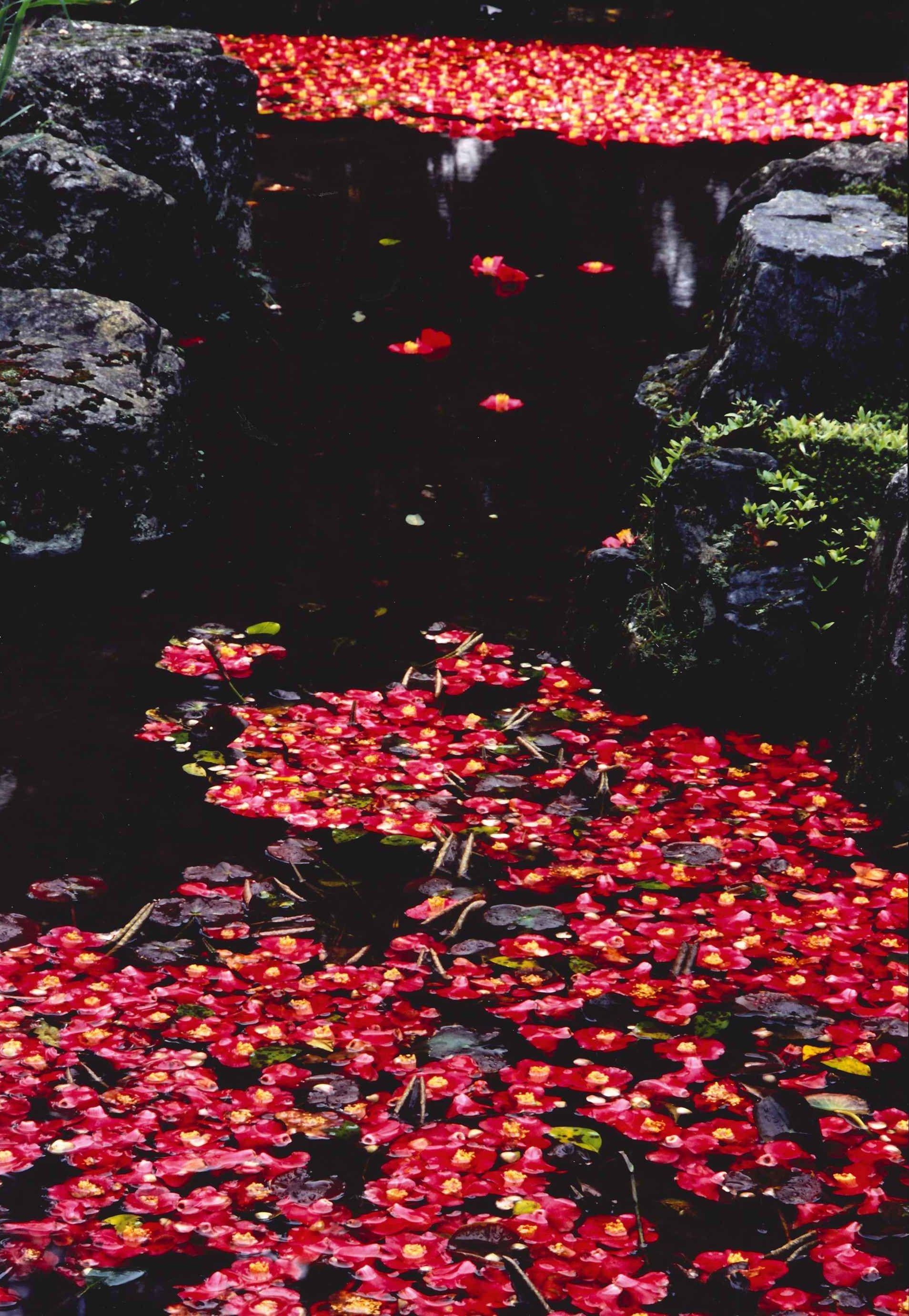 水面の散り椿