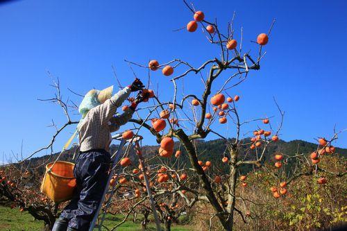 深清水の柿祭り