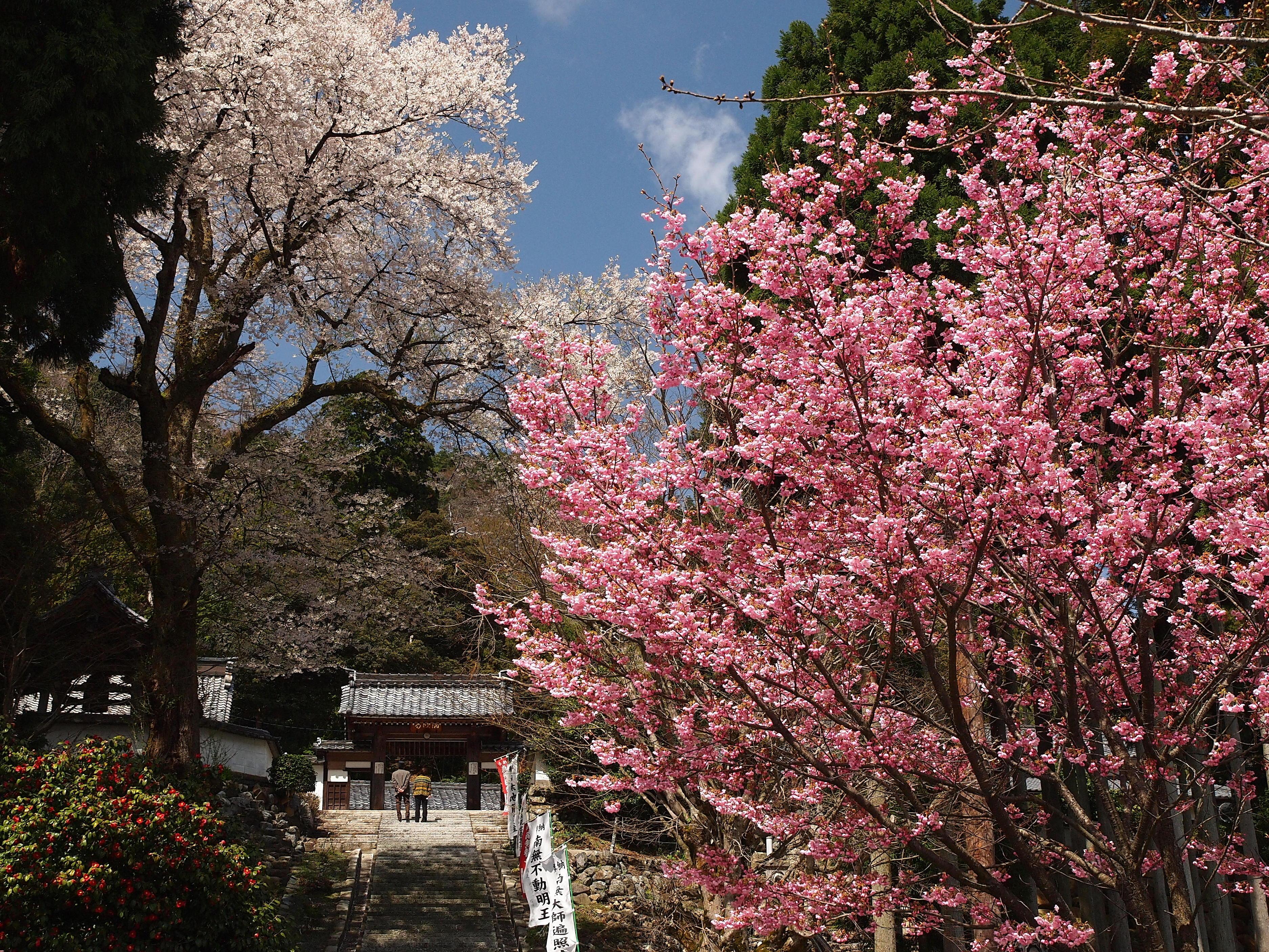 酒波寺の春