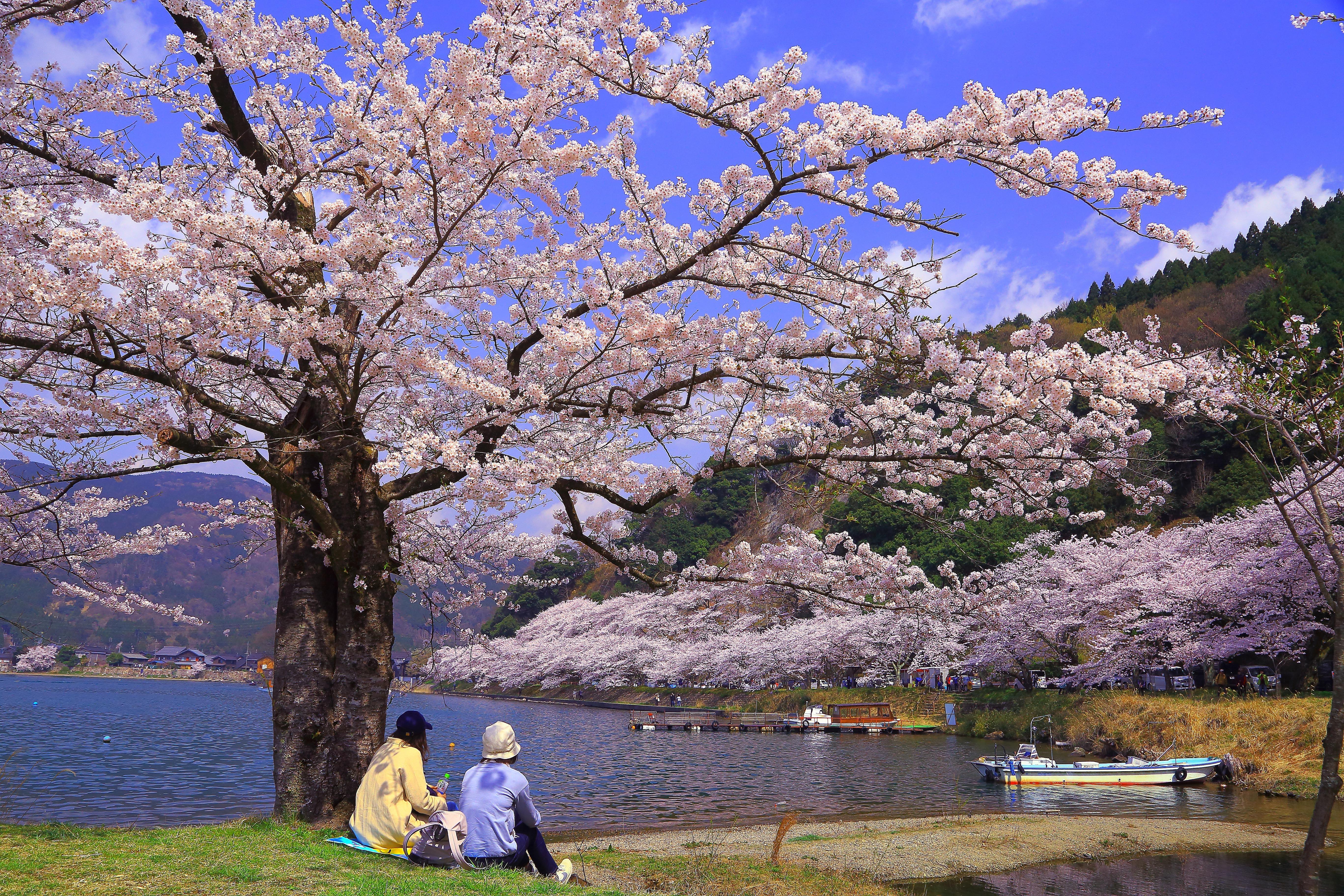 桜花爛漫 平 尚治様