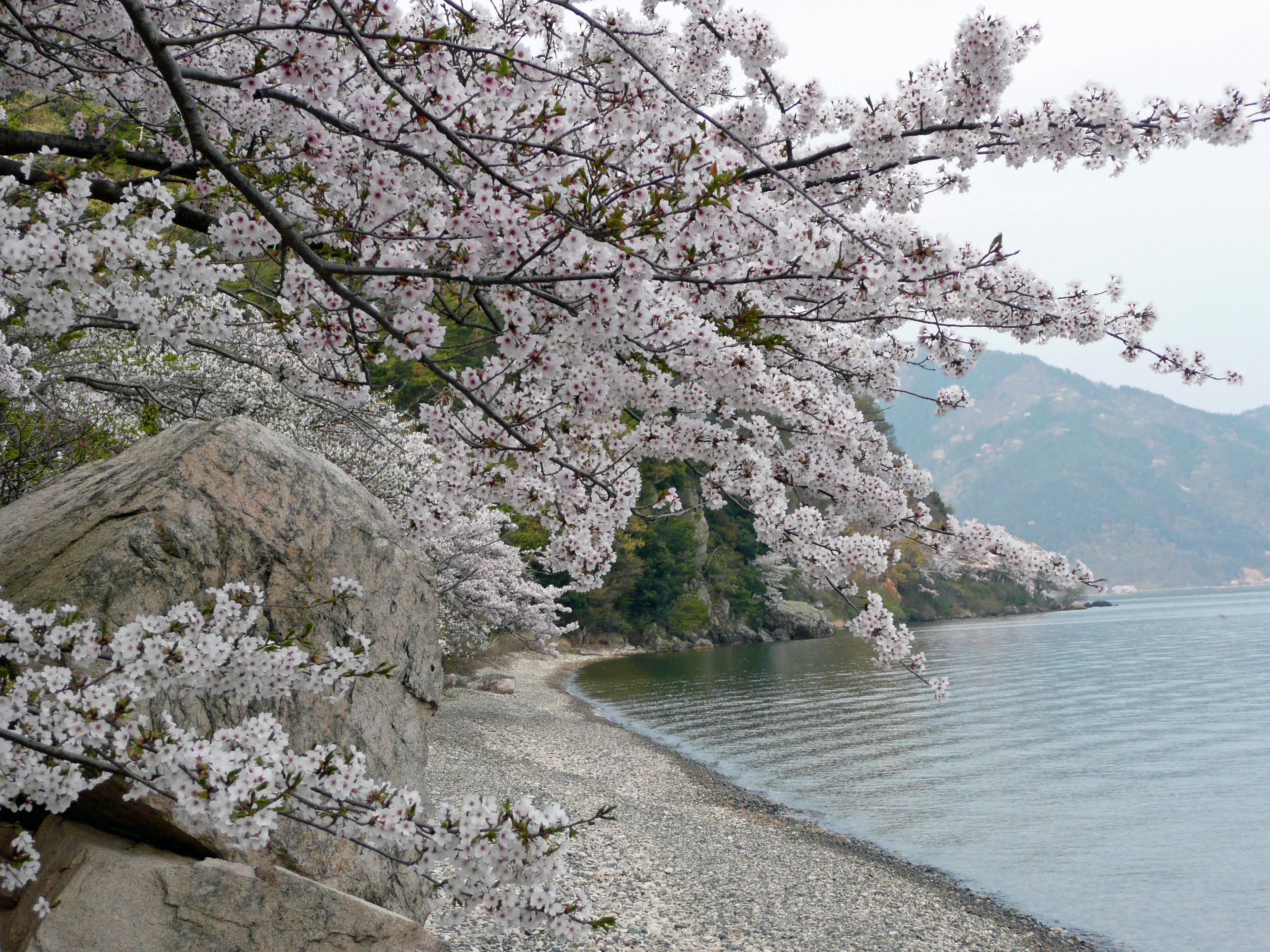 石浜と海津桜