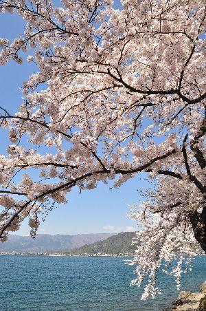 海津大崎の桜2.JPG